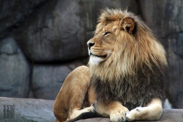 Leão Africano - Animais Mais Perigosos do Mundo