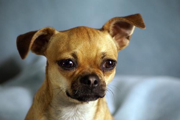 raças de cães pequenos