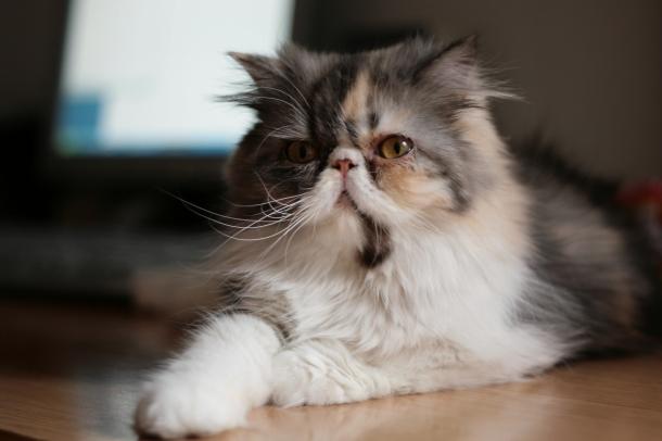 raças de gatos